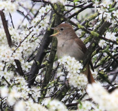 Nightingale in Blackthorn Blossom