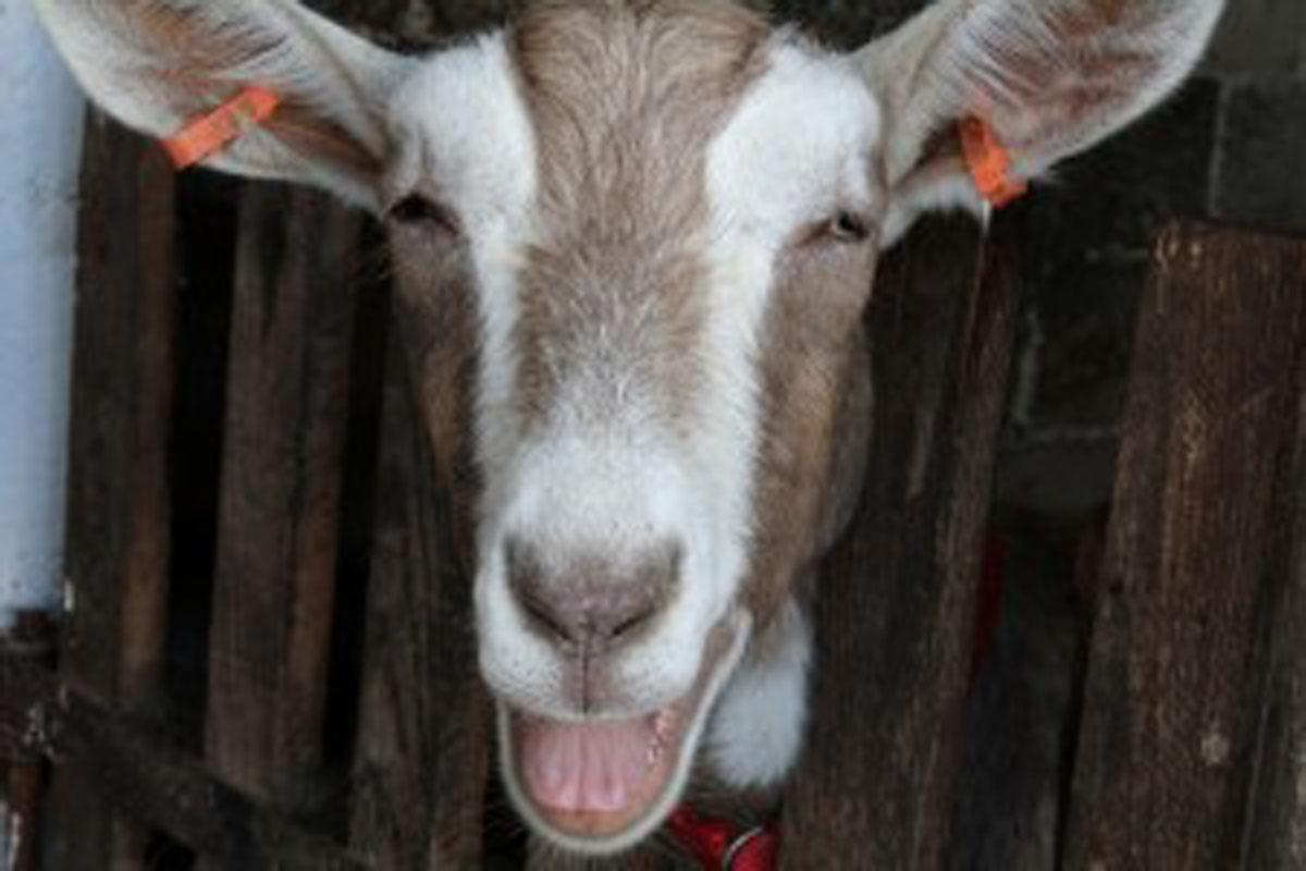 Chuckling Goat - larger image