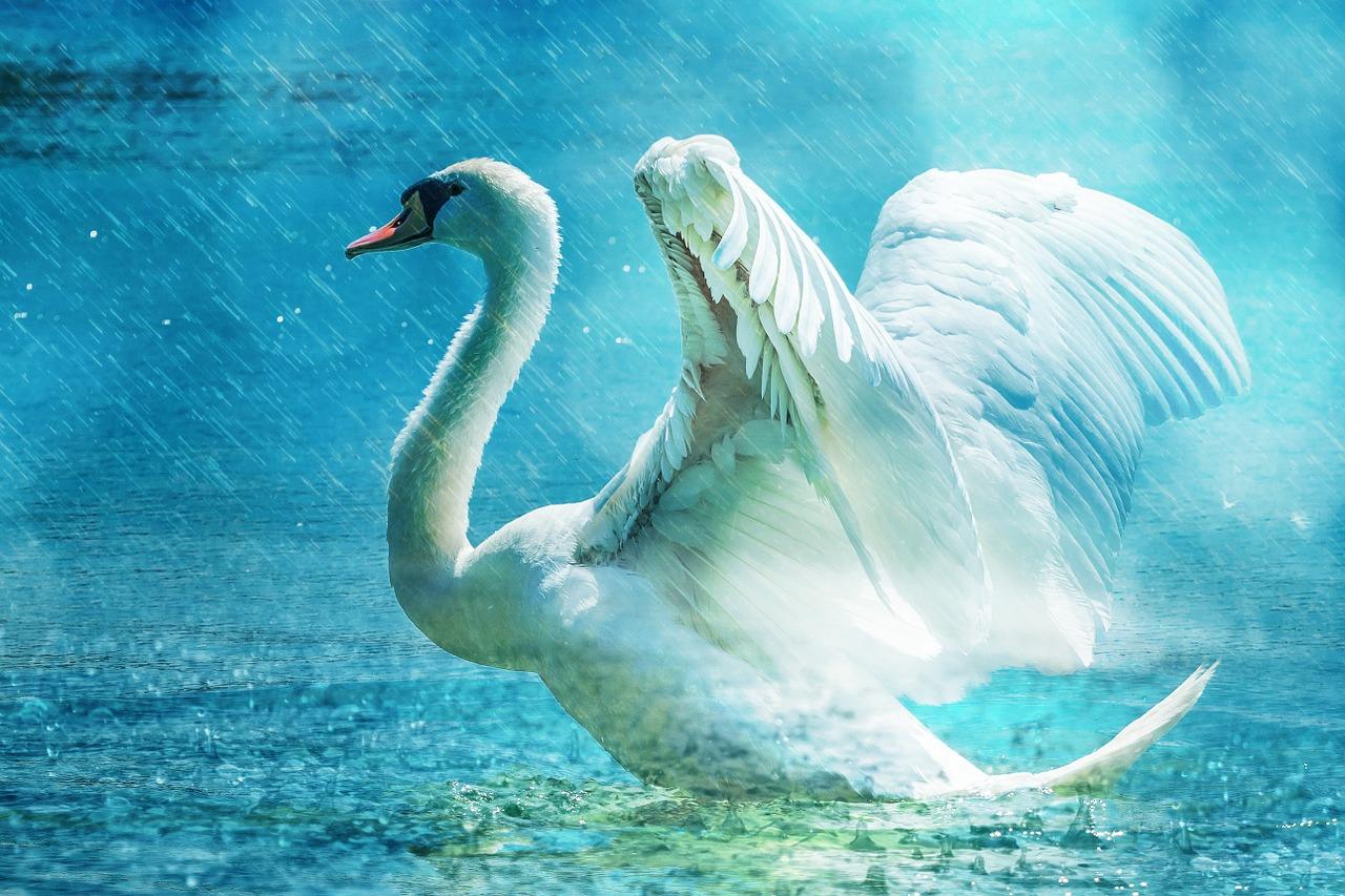 Cygnus Swan