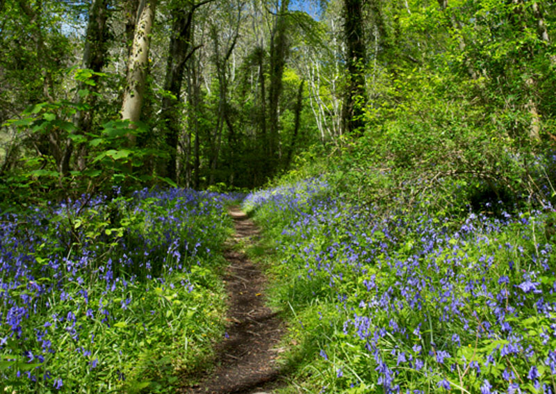 Bluebell Wood - Janet Baxter